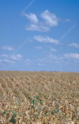 Corn fields in drought