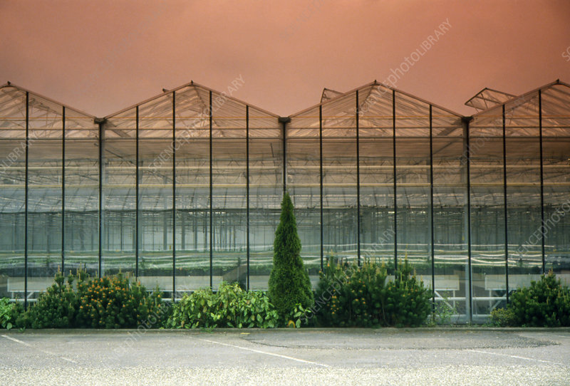 Field of carnations growing in a glass house