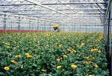 Glasshouse cultivation of Transvaal daisies