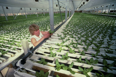 Hydroponic culture of lettuce