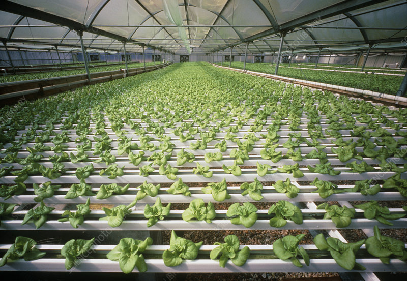 Hydroponic cultivation of lettuces in greenhouse