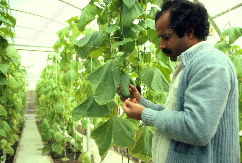 Coolhouse cultivation of cucumbers