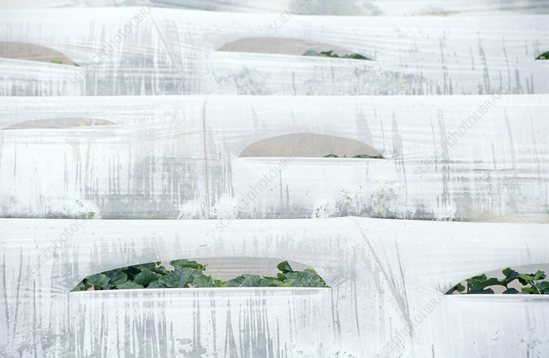 Hothouse cultivation