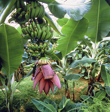 Banana trees in geothermally heated greenhouse