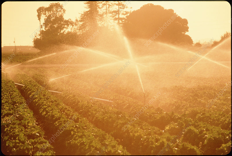 Sprinkler jets irrigating a field of lettuce