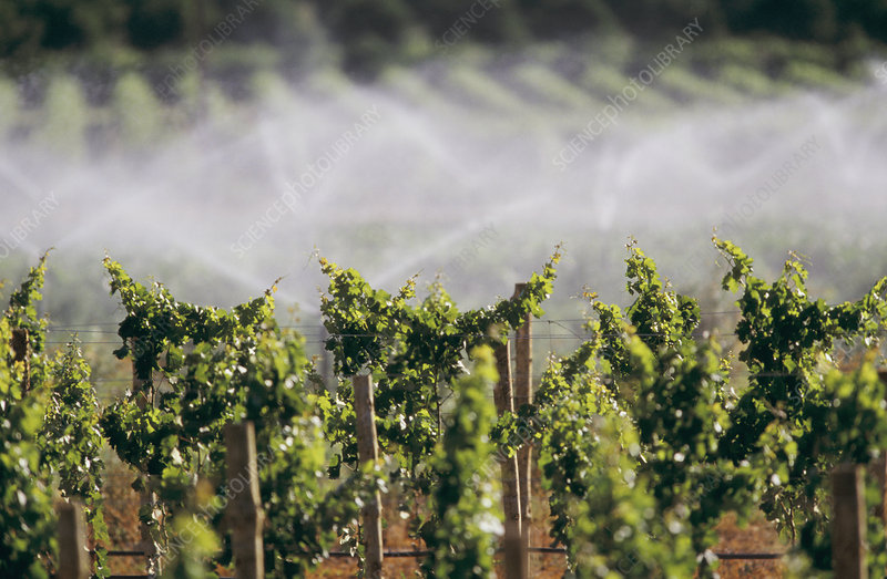 Irrigating grapevines