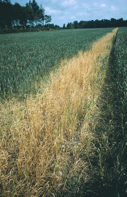 Dead wheat sprayed with herbicide