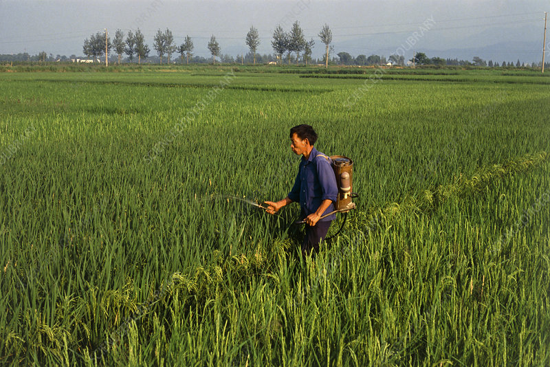 Farmworker spraying pesticide on rice paddy