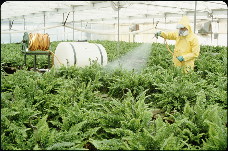 Man spraying a pesticide on ferns in a greenhouse