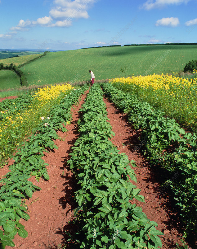 Potato plants flanked by mustard on organic farm