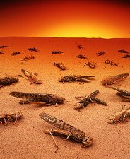 Pest control: dead desert locusts on sand