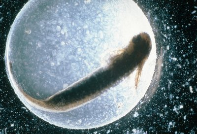 Salamander embryo raised in normal pH conditions