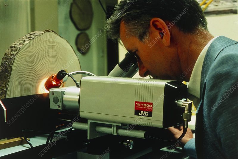Forestry expert examining growth rings of fir tree