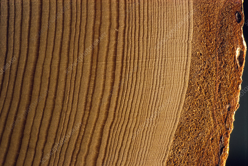 Stunted growth rings from acid rain