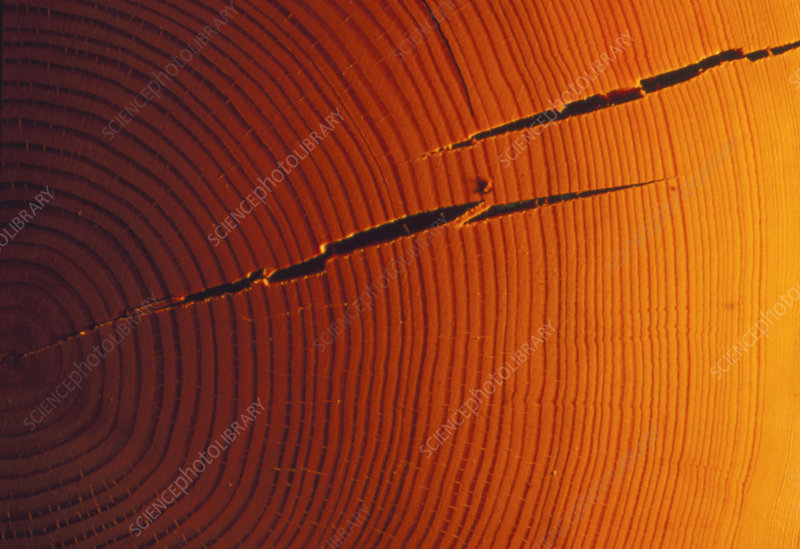 Examination of growth rings from fir tree