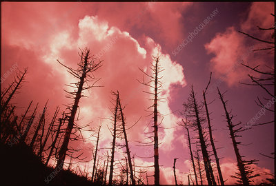 Trees in conifer forest damaged by acid rain