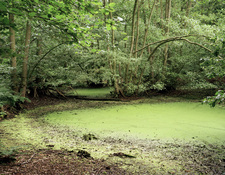 Algal bloom in pond
