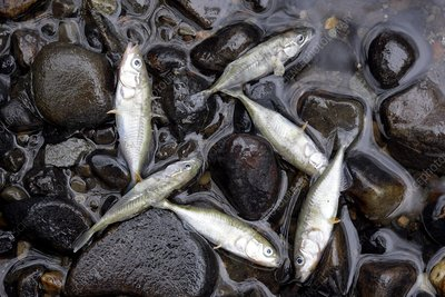 Fish killed by water pollution