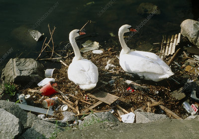 Mute swans, Cygnus olor, nesting on polluted water