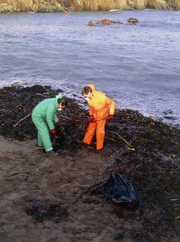 Workers clearing oil-covered kelp, Shetland 1993