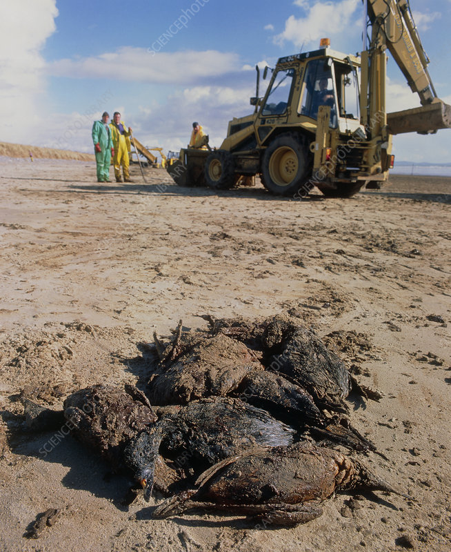 Dead birds killed by an oil spill at sea.