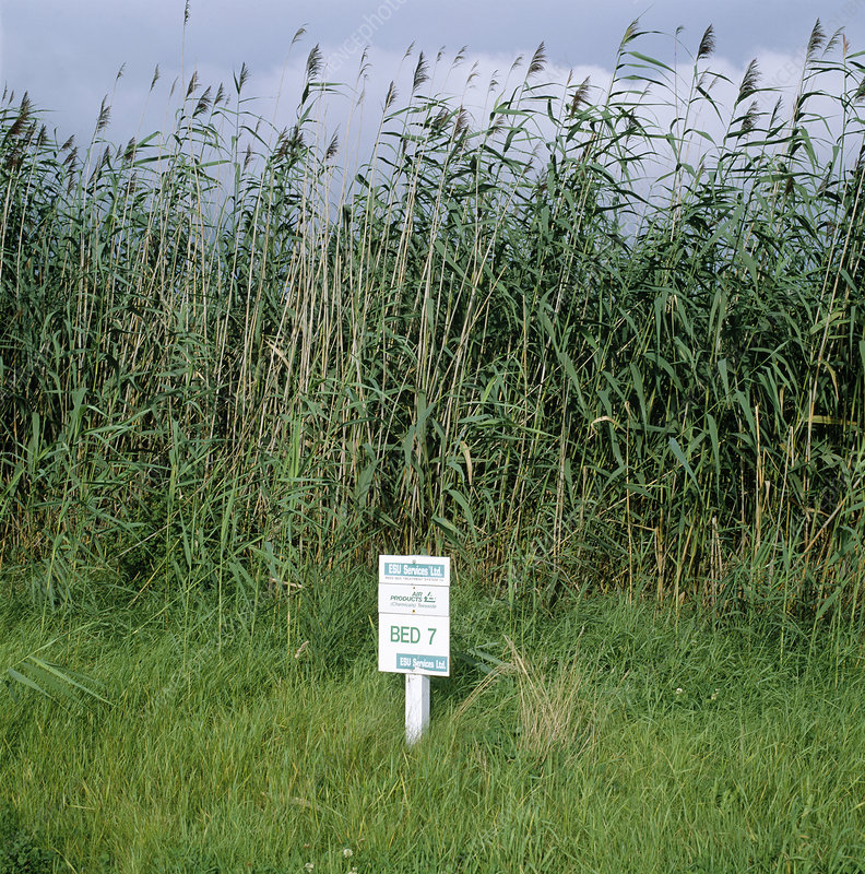 Chemical waste treatment reed bed