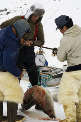 Scientists weighing a seal