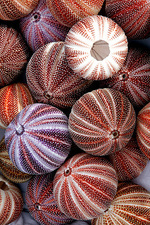 Edible sea urchin souvenirs