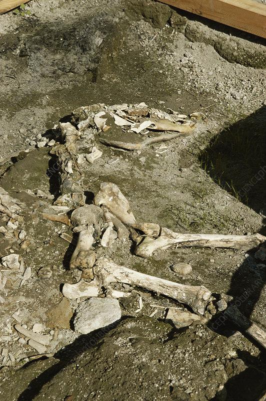 Horse skeleton from Herculaneum