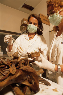 Pompeii bones being sampled in a lab