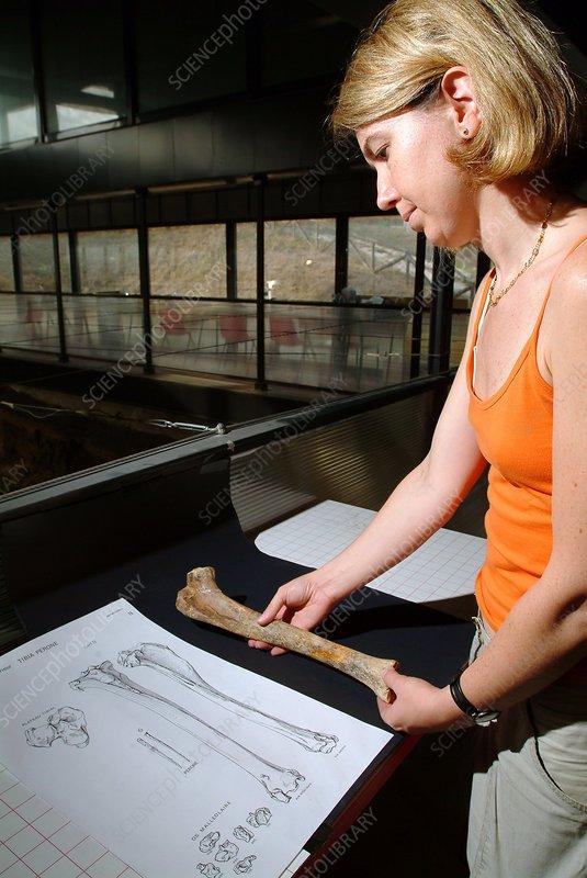 Examining prehistoric animal bones