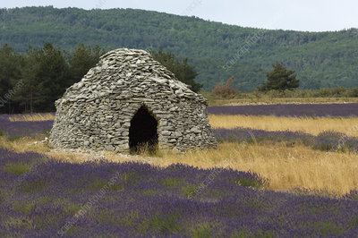 'Stone Hut and Lavender, France'