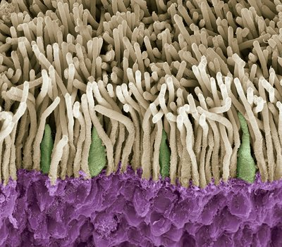 Retina rods and cones, SEM