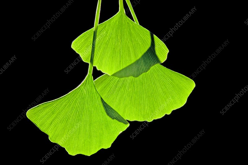Ginkgo leaves, computer artwork
