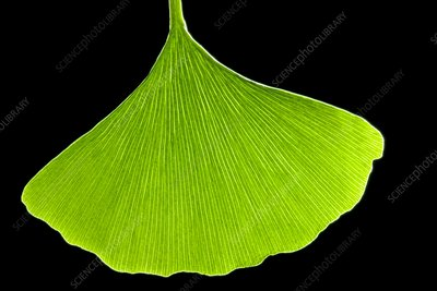 Ginkgo leaf, computer artwork