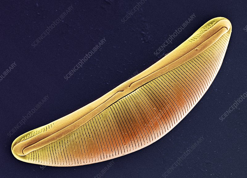 Diatom, SEM