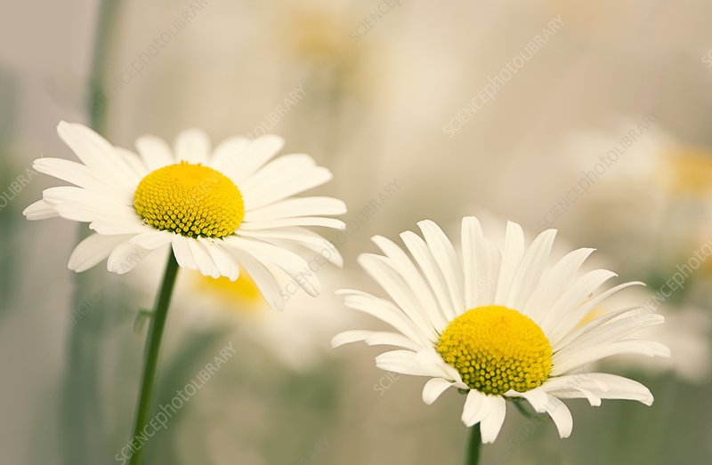 Shasta daisy (Leucanthemum 'Filigran')