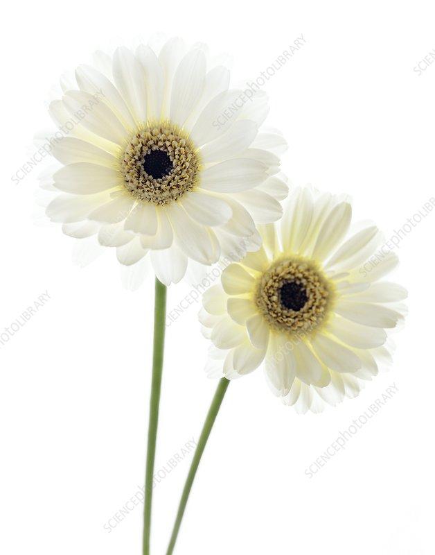 Gerbera flowers (Gerbera sp.)