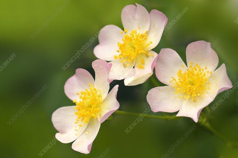 Lyda rose (Rosa sp.)