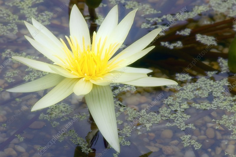 Yellow water lily (Nymphaea sp.)