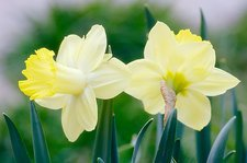 Daffodil flowers (Narcissus sp.)