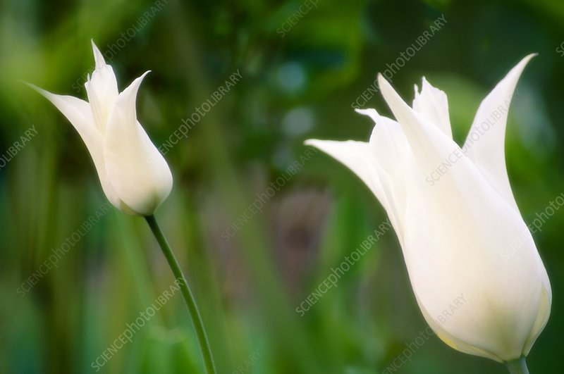 Lily tulip (Tulipa 'White Elegance')