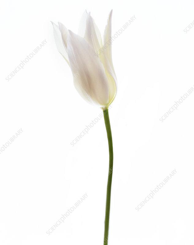 White tulip (Tulipa sp.)