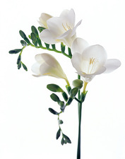 Freesia (Freesia sp)