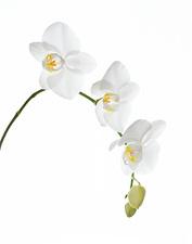 Orchid flowers (family Orchidaceae)