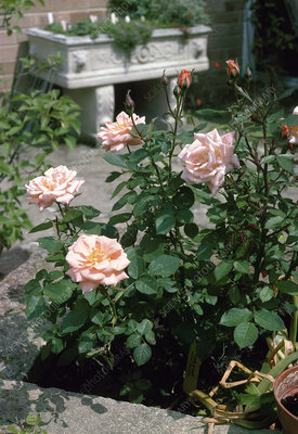 Roses (Rosa 'Cider Cup')