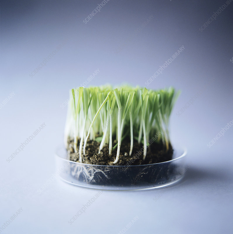 Genetically modified grass