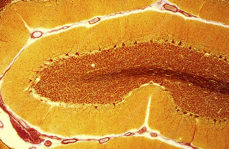 Purkinje nerve cells, light micrograph