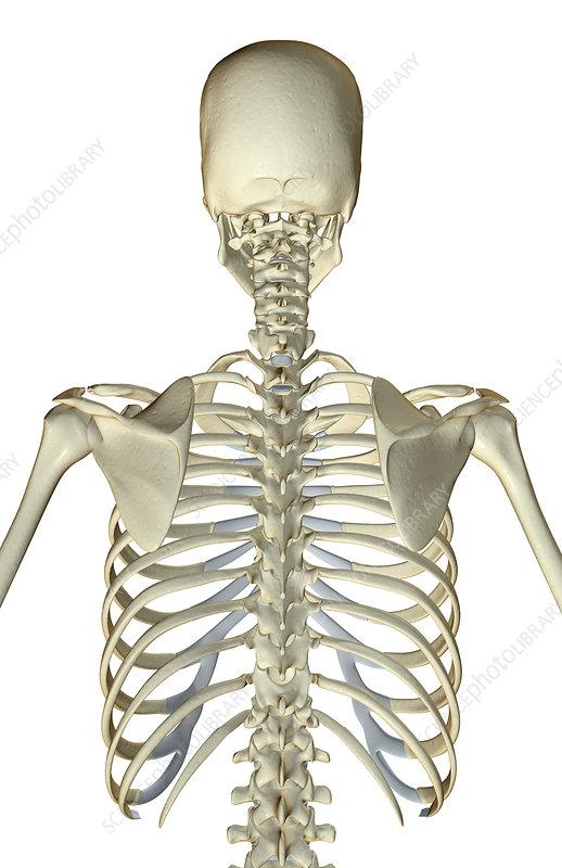 The bones of the upper bodyUpper Back Bones