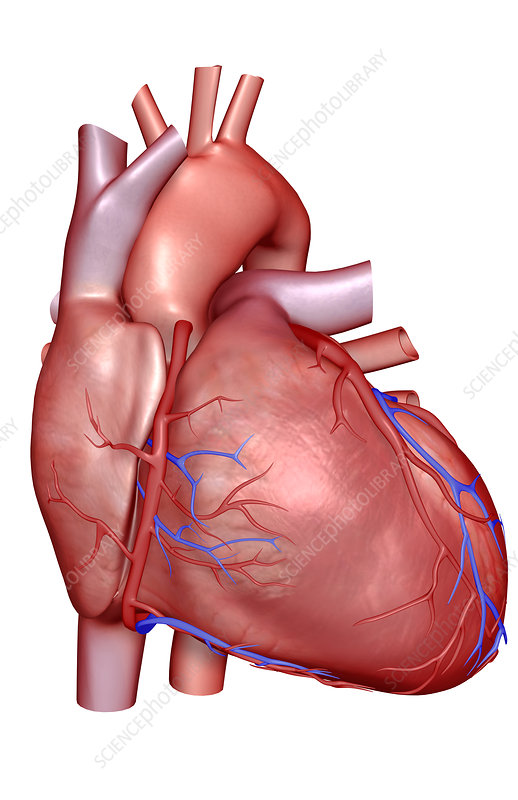 The coronary vessels of the heart